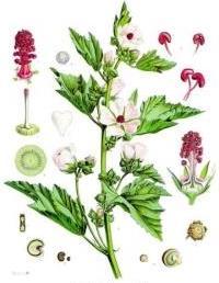 althaea-officinalis