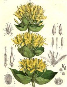 gentiana-lutea
